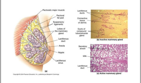 Μεταβολές στο στήθος μετά τον αποθηλασμό-νέα επιστημονικά δεδομένα